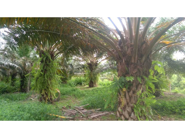 Venta Finca a 20 minutos de Sabana de Torres 340 hectareas y 60 cultivadas de Palma